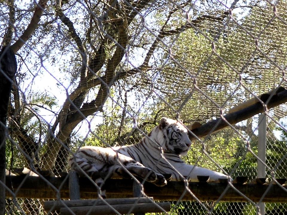 Filet inox tressé tigre blanc